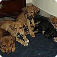 Hound (Unknown Type) Puppy for adoption in Monroe, New Jersey - Volunteers needed for IN Pups