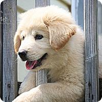 Adopt A Pet :: Pooh Bear - Albany, NY