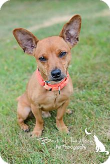 Chihuahua/Dachshund Mix Dog for adoption in Worcester, Massachusetts - Saul