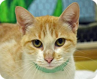 Domestic Shorthair Cat for adoption in Searcy, Arkansas - Jewels