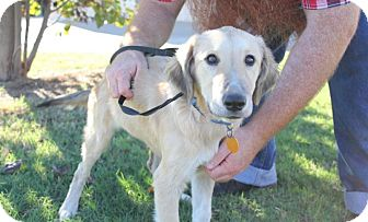 Labrador Retriever/Great Pyrenees Mix Dog for adoption in Stillwater, Oklahoma - Fiona