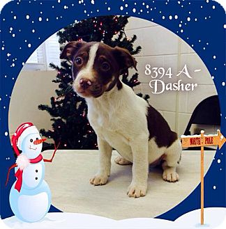Collie/Labrador Retriever Mix Puppy for adoption in Dillon, South Carolina - Dasher