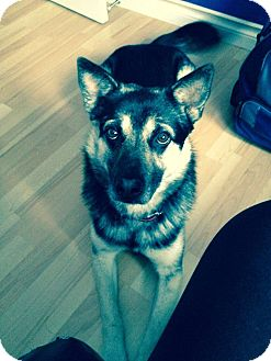 Shepherd (Unknown Type)/Husky Mix Dog for adoption in Vancouver, British Columbia - Brody