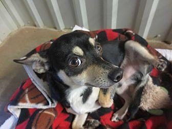 Chihuahua/Miniature Pinscher Mix Dog for adoption in Lubbock, Texas - Decker