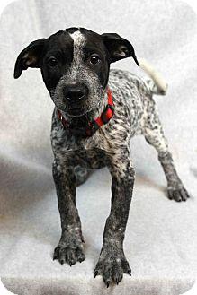 Blue Heeler Mix Puppy for adoption in Westminster, Colorado - Francine