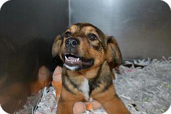 Spaniel (Unknown Type) Mix Puppy for adoption in Edwardsville, Illinois - Lemon Drop