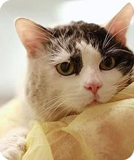 Domestic Shorthair Cat for adoption in Hillside, Illinois - Archie-LOOK AT THAT FACE!