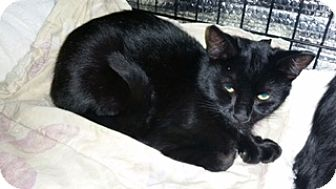 Bombay Cat for adoption in Forest Hills, New York - Olive aka coal