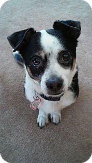 Chihuahua Mix Dog for adoption in Buffalo, New York - Joshua