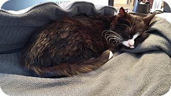 Domestic Mediumhair Cat for adoption in Windsor, Virginia - Oreo