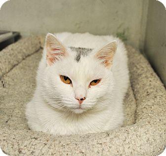 American Shorthair Cat for adoption in West Hartford, Connecticut - Sugar