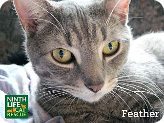 Domestic Shorthair Cat for adoption in Oakville, Ontario - Feather