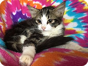 Maine Coon Kitten for adoption in Tampa, Florida - Pepper
