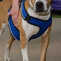 Boxer Mix Dog for adoption in Midlothian, Virginia - Jester