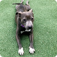 Adopt A Pet :: Geena - Sharon, CT