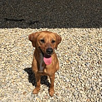 Australian Shepherd/Coonhound Mix Dog for adoption in Wilmington, Ohio - Sarah