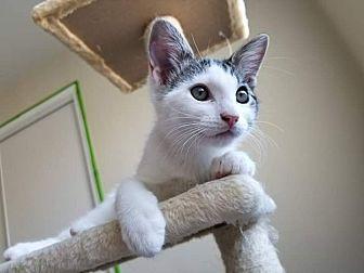 Domestic Shorthair Kitten for adoption in Lancaster, California - Merlin