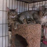 Domestic Shorthair Cat for adoption in Acushnet, Massachusetts - Lucy