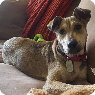 Shepherd (Unknown Type) Mix Puppy for adoption in Columbia, Illinois - Xena
