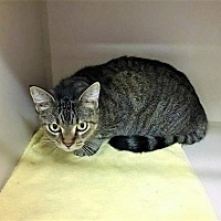 Adopt A Pet :: BAMBI - Franklin, TN