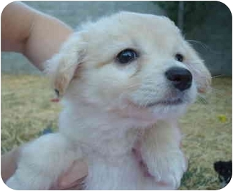 Terrier (Unknown Type, Small)/Pomeranian Mix Puppy for adoption in Sacramento, California - Baby Girls!