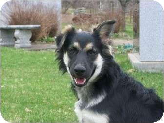 Border Collie/Australian Shepherd Mix Puppy for adoption in Rochester/Buffalo, New York - Gabby