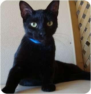 Domestic Shorthair Cat for adoption in Arkadelphia, Arkansas - Amos