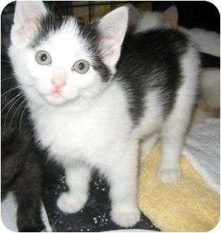 Domestic Shorthair Kitten for adoption in Elk Grove, Illinois - Wilma