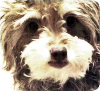 Maltese/Poodle (Miniature) Mix Dog for adoption in north hollywood, California - Dakota