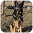 Photo 1 - German Shepherd Dog Dog for adoption in Hamilton, Montana - Adonis-Doni