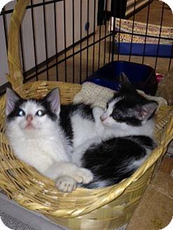 American Shorthair Kitten for adoption in Spring Valley, New York - Felix