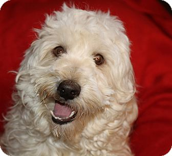 Wheaten Terrier/Poodle (Standard) Mix Dog for adoption in Phoenix, Arizona - Curly