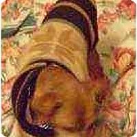 Adopt A Pet :: Pretty Pinnie - Summerville, SC