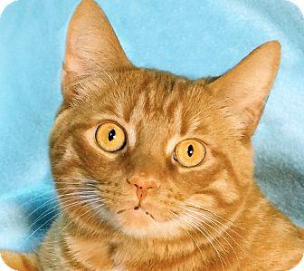 Domestic Mediumhair Cat for adoption in Renfrew, Pennsylvania - Oliver
