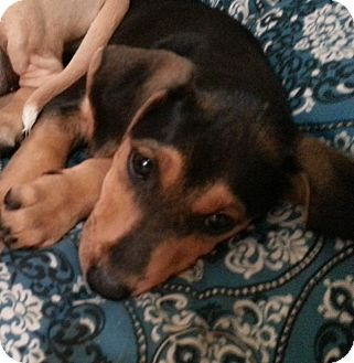 Labrador Retriever Mix Puppy for adoption in Chicago, Illinois - Chloe