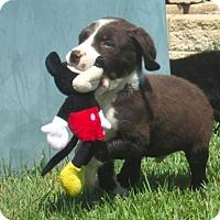 Adopt A Pet :: *Kelso - PENDING - Westport, CT