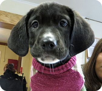Labrador Retriever/Great Dane Mix Puppy for adoption in Middletown, New York - Gretel