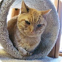 Domestic Shorthair Cat for adoption in Northbrook, Illinois - Buhdy