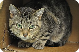 Domestic Shorthair Cat for adoption in Rockaway, New Jersey - Dinah