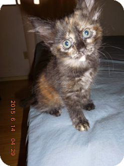 Domestic Mediumhair Kitten for adoption in Tracy, California - Claire-ADOPTED!