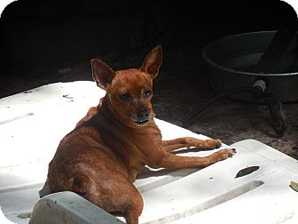 Miniature Pinscher Mix Dog for adoption in Old Town, Florida - Ruby