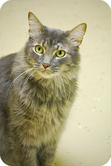 Domestic Longhair Cat for adoption in Pawleys Island, South Carolina - Giovanni
