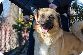 Anatolian Shepherd Dog for adoption in Ridgefield, Connecticut - Chewbacca (Courtesy Post)