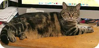 Domestic Shorthair Cat for adoption in Fallbrook, California - Phoenix