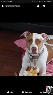 American Pit Bull Terrier Dog for adoption in Chandler, Arizona - MAX 3