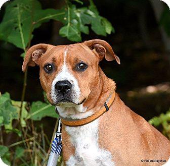 Boxer Mix Dog for adoption in Westminster, Maryland - Denver