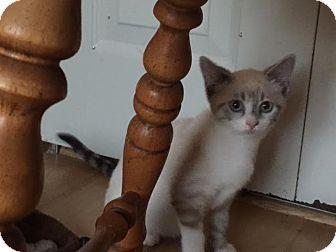 Siamese Kitten for adoption in Columbus, Ohio - Buttercup