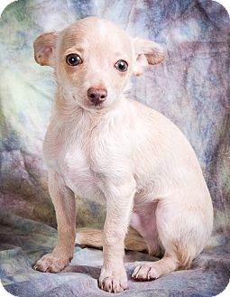 Chihuahua/Maltese Mix Puppy for adoption in Anna, Illinois - PAULI