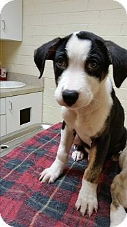 Boxer/Terrier (Unknown Type, Medium) Mix Puppy for adoption in Charlotte, North Carolina - Bruno