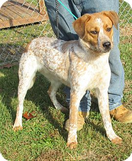 Cattle Dog/Hound (Unknown Type) Mix Dog for adoption in Reeds Spring, Missouri - Clyde